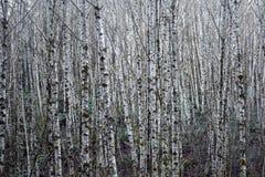 Тонкие деревья ольшаника Стоковые Изображения RF
