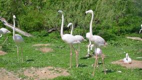 Тонкие розовые фламинго видеоматериал