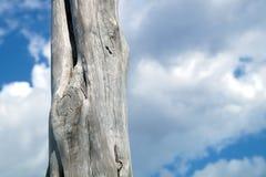 Тонкие стволы дерева против неба с облаками Стоковая Фотография