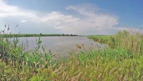 Тонкие тростники около красивого озера сток-видео
