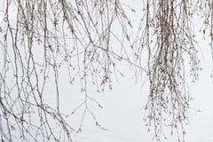 Тонкие хворостины березы на белой предпосылке снега стоковая фотография rf