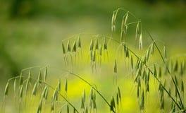 Тонкие хворостины зеленых овсов Стоковое Изображение RF