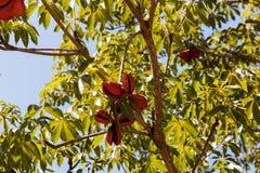 Тонна Samrong или драчевое poom Стоковое Изображение RF
