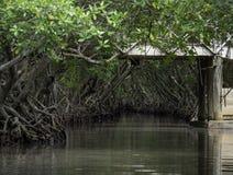 Тоннели мангровы Roatan стоковое фото