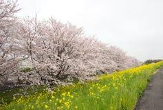 Тоннель вишневого цвета и поля желтого цветя nanohana на Kumagaya Arakawa Ryokuchi паркуют в Kumagaya, Saitama, Японии Также kno Стоковые Изображения