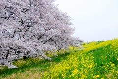 Тоннель вишневого цвета и поля желтого цветя nanohana на Kumagaya Arakawa Ryokuchi паркуют в Kumagaya, Saitama, Японии Также kno Стоковые Фотографии RF