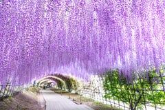Тоннель глицинии на саде Kawachi Фудзи стоковые фотографии rf
