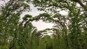 Тоннель переплетенных ветвей Стоковая Фотография RF