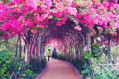 Тоннель через взбираться настолько много цветков пинка Настолько романтичный тоннель цветка стоковая фотография rf
