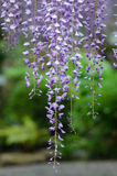 Тоннель глицинии, фантастический мир вполне глицинии цветет Стоковые Фото