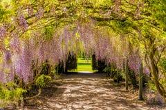Тоннель цветка глицинии, замок Хэмптона Корта, Herefordshire, Англия стоковое фото