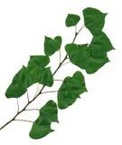 тополь ветви Стоковое Фото