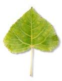 Тополь листьев осени Стоковая Фотография RF