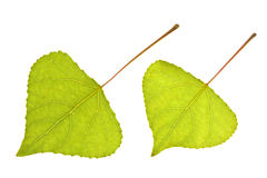 тополь листьев Стоковое фото RF