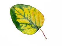 тополь листьев Стоковое Фото