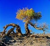 тополь пустыни Стоковые Изображения