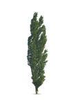 Тополь дерева изолированный на белизне Стоковые Изображения RF