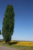 Тополь на краю поля зацветая солнцецветов Стоковое Изображение RF