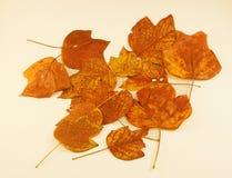 Тополь тюльпана листьев осени Стоковая Фотография