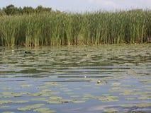 Топь болота с тростником и водорослью Стоковая Фотография RF