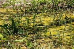 Топь с водорослями в стоячей воде Стоковая Фотография