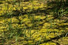 Топь с водорослями в стоячей воде Стоковые Фото