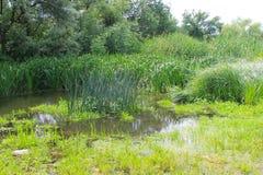 Топь с зелеными тростниками в воде Стоковое Фото