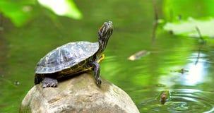 Топление черепахи пруда в Солнце на утесе видеоматериал