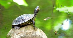 Топление черепахи пруда в Солнце на утесе сток-видео