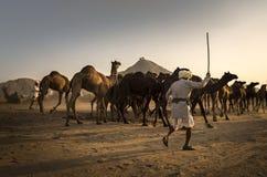 торговец верблюда в pushkar верблюде справедливом Стоковая Фотография