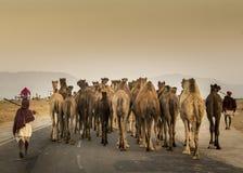 торговец верблюда в pushkar верблюде справедливом Стоковое фото RF