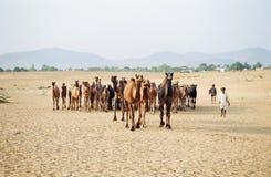 Верблюд справедливый, Pushkar Индия стоковое изображение rf