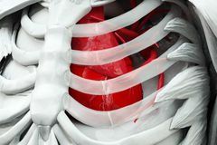 Торс с красным сердцем Стоковое Изображение RF
