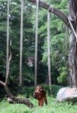 Торусы, один зоопарк Taru Jurug собрания орангутана сольный Стоковые Фотографии RF
