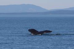 Торцовка горбатого кита стоковое фото