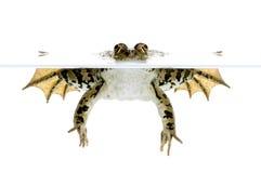 торцовка лягушки Стоковое Фото