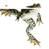 торцовка лягушки Стоковые Фото