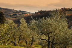 Тосканские оливковые дерева и поля ландшафта в области Флоренса Стоковая Фотография