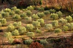 Тосканские оливковые дерева и поля ландшафта в области Флоренса Стоковые Фото