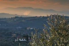 Тосканские оливковые дерева и поля ландшафта в области Флоренса Стоковое Фото