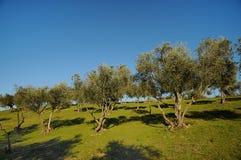 Тосканские оливковые дерева и поля ландшафта в области Флоренса Стоковые Фотографии RF