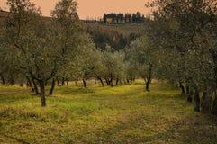 Тосканские оливковые дерева и поля ландшафта в области Флоренса Стоковые Изображения
