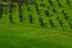 Тосканские оливковые дерева и поля ландшафта в области Флоренса Стоковое фото RF