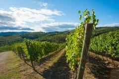 тосканский виноградник стоковые изображения rf