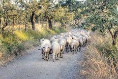 Тосканский ландшафт с табуном овец Стоковая Фотография