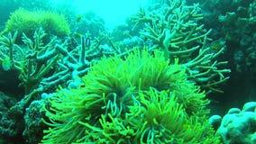 Точка зрения водолазов плавая над коралловым рифом видеоматериал