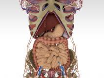 Точная женская анатомия Стоковое Изображение
