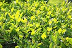 Точная листва яркого ого-зелен кустарника как предпосылка Стоковая Фотография RF