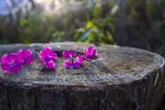 Точные чувствительные цветки шарлаха упали и на старом пне Лучи блеска солнца Стоковые Фото