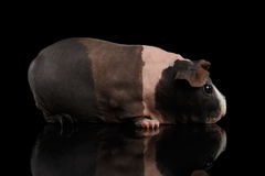 Тощая морская свинка на изолированной черной предпосылке Стоковое Изображение